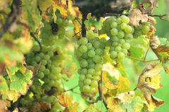 White grapes in the vineyard royalty free stock photography
