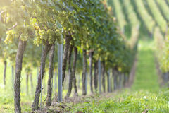 White Grapes in the Vineyard Stock Image