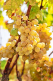White grapes in the vineyard Royalty Free Stock Images