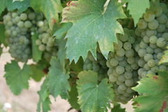White grapes Stock Images