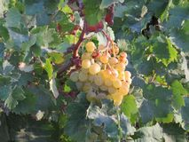 White grapes waiting to be turned into wine stock photos