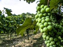 White grapes. Hanging from lush green vine with vineyard background, in Brazil stock image