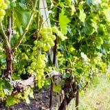 White grapes in wine region Etna in Sicily Stock Photo