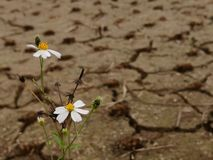 Flowers in dry field royalty free stock photography