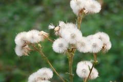 White grass flower Stock Images
