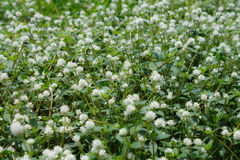White grass flower meadow Royalty Free Stock Photo