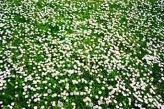 White grass flowers background on spring time Royalty Free Stock Photos