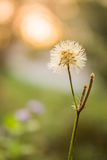 White grass flowers, bokeh background, evening sunset Thailand Royalty Free Stock Photos