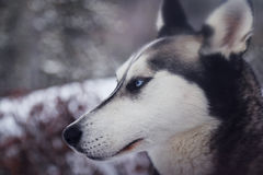 White and Gray Blue Eyes Husky Stock Photos