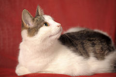 White and gray cat Stock Photography