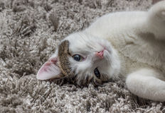 White gray cat with big eyes resting on the carpet. At home stock photos
