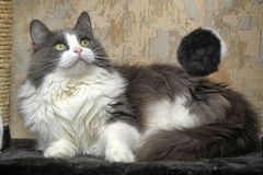 Fluffy White And Grey Cat White and gray cat Royalty