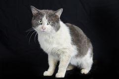 White and Gray Cat with Green eyes Royalty Free Stock Image