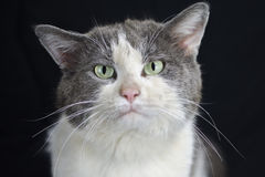 White and Gray Cat with Green eyes Royalty Free Stock Photography