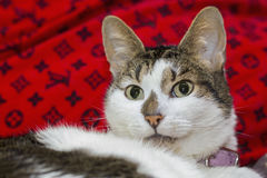White and gray cat Stock Images