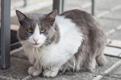 White and gray cat Stock Image