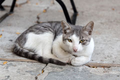 White and gray cat Royalty Free Stock Photography