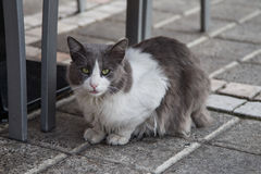 White and gray cat. Nice white and gray cat looking on Stock Images