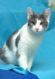 White with gray cat with orange eyes Stock Image