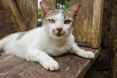White and Gray cat. White and Gray cat playing in wooden chair Stock Photo