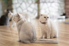 The white-gray cat sits wonderfully on the floor. The white-gray cat sits wonderfully on the floor in the room royalty free stock photo