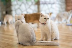 The white-gray cat sits wonderfully on the floor. The white-gray cat sits wonderfully on the floor in the room royalty free stock photography