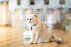 The white-gray cat sits wonderfully on the floor. The white-gray cat sits wonderfully on the floor in the room stock photo