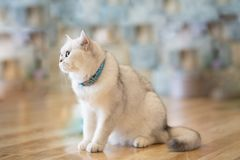 The white-gray cat sits wonderfully on the floor. The white-gray cat sits wonderfully on the floor in the room stock photos