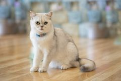 The white-gray cat sits wonderfully on the floor. The white-gray cat sits wonderfully on the floor in the room stock images