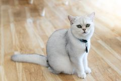 The white-gray cat sits wonderfully on the floor. The white-gray cat sits wonderfully on the floor in the room stock photography