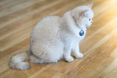The white-gray cat sits wonderfully on the floor. The white-gray cat sits wonderfully on the floor in the room royalty free stock image
