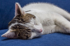 White gray cat sleeping on a blue couch Stock Images