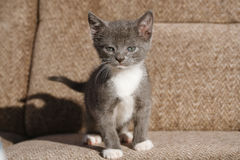 White with gray cat staring boldly. White with gray kitten staring boldly Royalty Free Stock Images