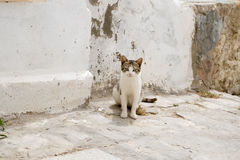 White and gray cat walking the streets of Sidi Bou Said Stock Photo