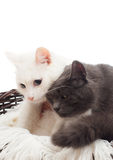 White and gray cat Stock Photos