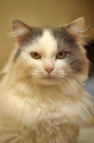White with gray cat Royalty Free Stock Photography