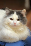 White with gray cat Royalty Free Stock Photos
