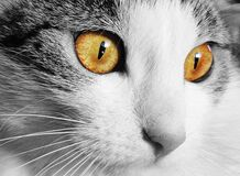 White and Gray Cat With Yellow Eyes in Selective Color Photography stock image