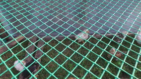 White and gray chicks walking the paddock. A small corral made of mesh. stock footage