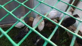White and gray chicks walking the paddock. A small corral made of mesh. stock video footage
