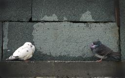 White and gray doves at the granite walls Stock Photography