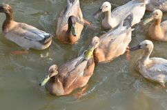White and gray duck swimming at the pond Stock Image