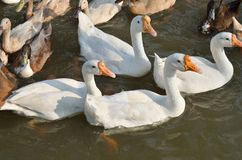 White and gray duck swimming at the pond. Many white and gray duck swimming at the pond Stock Photo