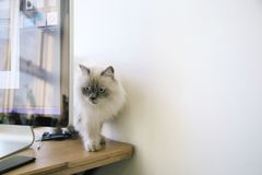 White and Gray Fur Cat stock photo