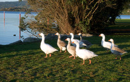White and gray geese. On a green grass Stock Photography