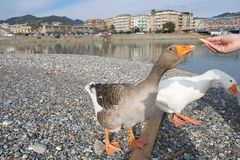 White and gray geese at the mouth of the river Entella - Chiavari - Italy. Europe Royalty Free Stock Images