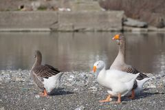 White and gray geese at the mouth of the river Entella - Chiavari - Italy. Europe Stock Photography