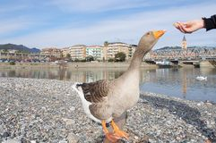 White and gray geese at the mouth of the river Entella - Chiavari - Italy. Europe Royalty Free Stock Image
