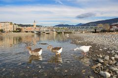 White and gray geese at the mouth of the river Entella - Chiavari - Italy. Europe Royalty Free Stock Photos