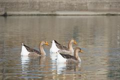 White and gray geese at the mouth of the river Entella - Chiavari - Italy. Europe Stock Photo